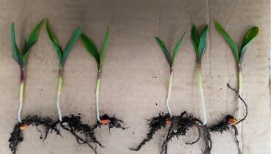BactoFil A10 baktériumtrágya hatása a talajra és a növénykultúrákra